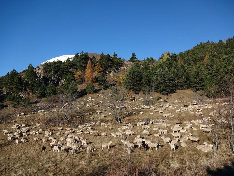 son troupeau à La Combe