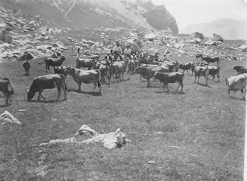 Les vaches au Laus à la St Laurent dans les années 40. Aujourd'hui ce sont les moutons.(Ph.G.Domeny).