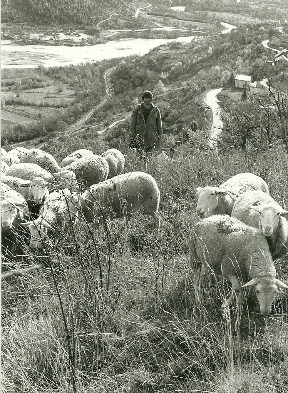 René Martin déplaçant ses moutons de parc à parc dans le quartier de l'église.