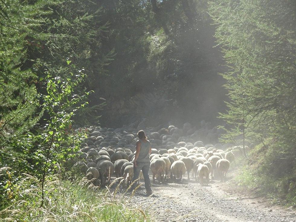 """Septembre 2016 : Stéphanie Bertrand accompagne vers les pâturages autour des bergeries le troupeau des """"empoussées"""""""
