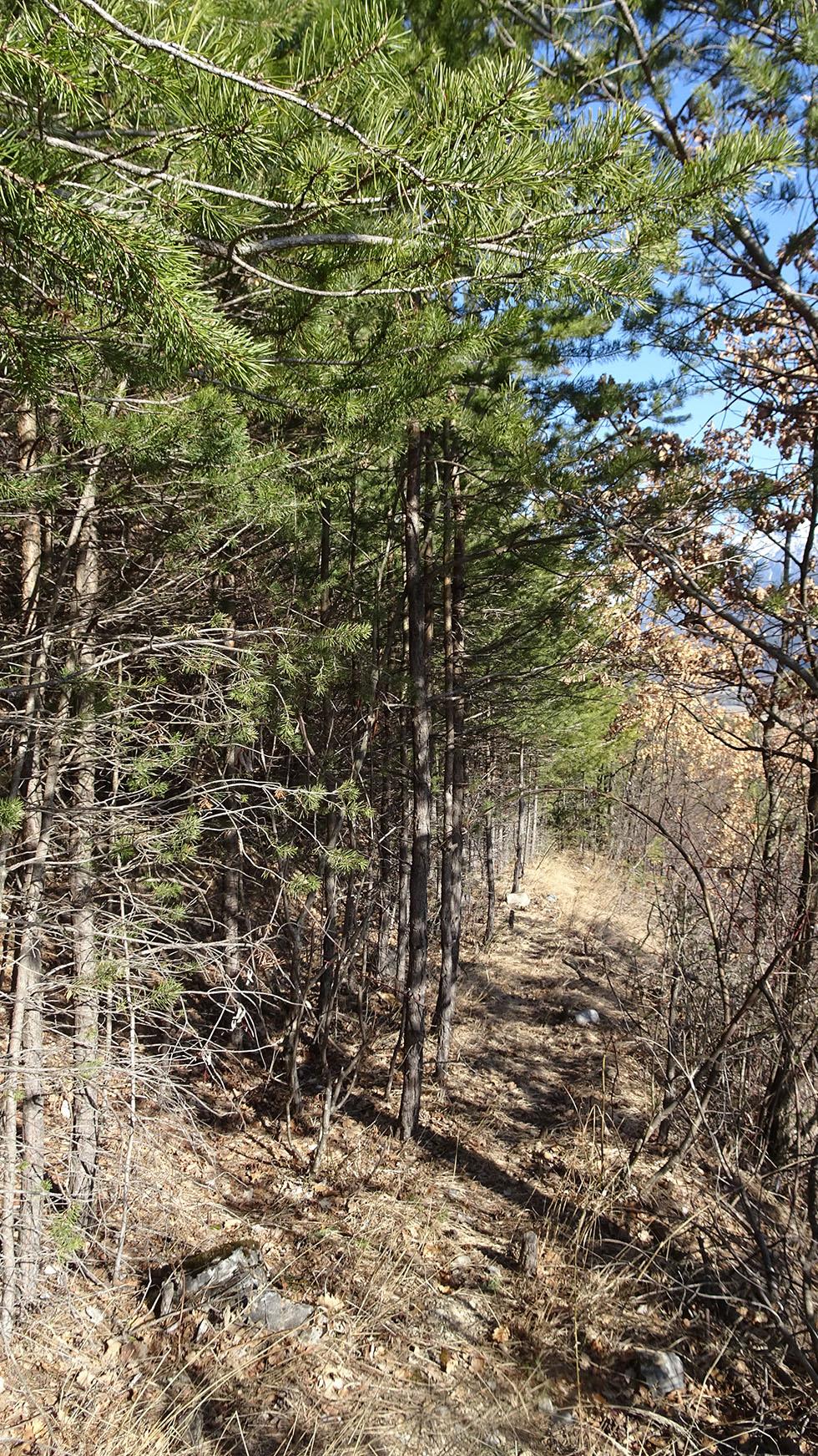 Il y a vingt ans, ce boisement bien régulier de pins était une piste de tracteur